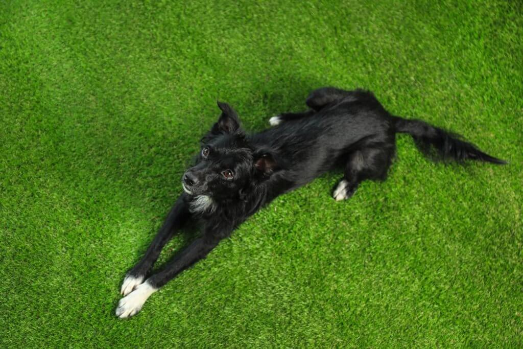 dog in artificial grass santa cruz